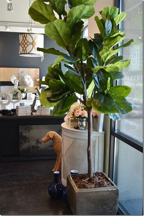 What's New Wednesday: Fiddle Leaf Fig Trees - Heather