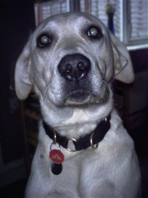 Labrador Ear Infection - Causes, Cures and Effect