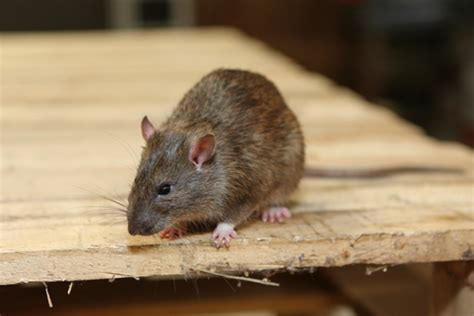 Rodent Control and Prevention   Gregory Pest Solutions