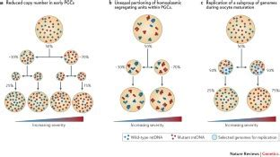 The dynamics of mitochondrial DNA heteroplasmy
